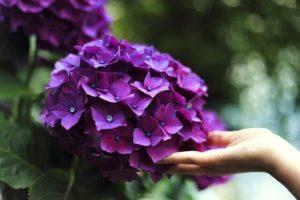 紫陽花に差し伸べる手