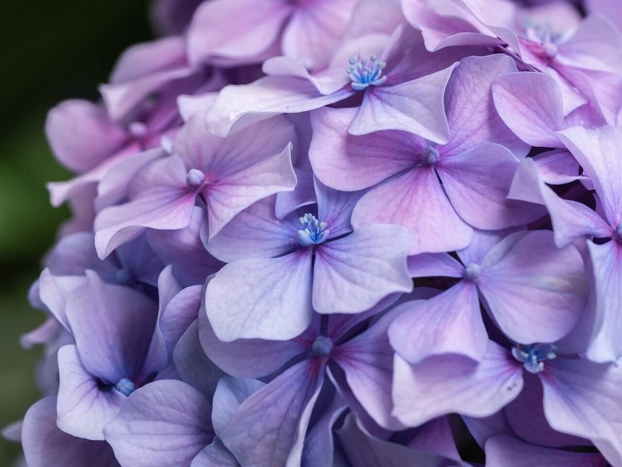 に いけない は 紫陽花 植え 庭 て