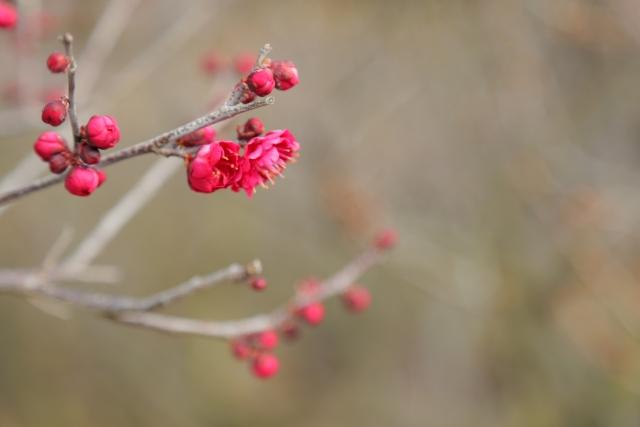 つぼみのある梅