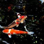 池で泳ぐ鯉