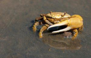 片手が大きな蟹