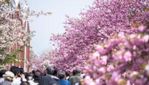 造幣局の通り抜けの桜