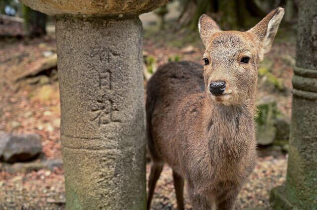春日社の鹿