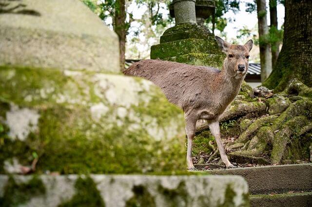 奈良にいる鹿
